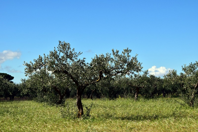 huile olive tanche